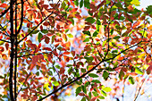 Autumn Coloured Foliage On A Tree At The Japanese Gardens On Mayne Island; Gulf Islands, British Columbia, Canada