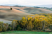 A Lone Tree On The Gray Cultivated Tuscany Land Near San Quirico D'orcia And Autumn Coloured Forests, Illuminated By The Setting Sun; Tuscany, Italy