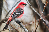 Pine Grosbeak (Pinicola Enucleator); Johnson Crossing, Yukon, Canada