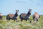 Zebras Grazing In The Serengeti; Tanzania