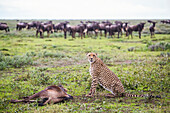 Cheetah (Acinonyx Jubatus) With It's Wildebeest Kill After A Hunt, Serengeti; Tanzania