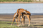 Giraffes (Giraffa) With Necks Intertwined, Serengeti; Tanzania