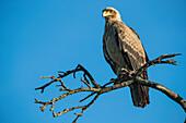 Eagle Sitting In A Tree, Serengeti; Tanzania
