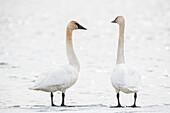 Swans (Cygnus) Taking A Break On Their Annual Migration North; Tagish, Yukon, Canada