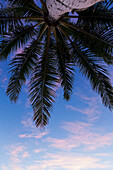 Coconut palm fronds framed with an open blue and purple sky at sunset; Honolulu, Oahu, Hawaii, United States of America