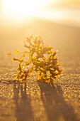 Yellow-green Limu seaweed on the beach with sun flare behind; Honolulu, Oahu, Hawaii, United States of America