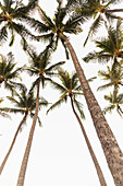 A group of coconut palm trees from a low angle view; Honolulu, Oahu, Hawaii, United States of America