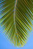 Close-up of a green coconut tree palm frond against a clear blue sky; Honolulu, Oahu, Hawaii, United States of America