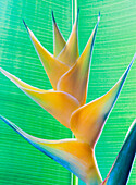 Close-up of a beautiful yellow Heliconia flower against a green leaf; Honolulu, Oahu, Hawaii, United States of America