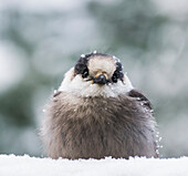 Extreme close-up of a Grey Jay (Perisoreus canadensis) sitting in the snow and covered with snowflakes in winter; Ontario, Canada