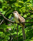 Black-billed Cuckoo (Coccyzus erythropthalmus) perched on a tree branch; Redbridge, Ontario, Canada