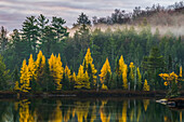 Golden Tamaracks along the shoreline of a lake with fog over the forest in autumn; Ontario, Canada