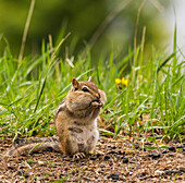 Chipmunk feeding on the ground; Ontario, Canada