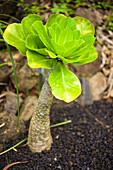 Close-up of a tropical plant; Kauai, Hawaii, United States of America