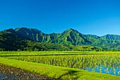 Taro crops and green, foliage covered mountains on the island of Kauai; Hanalei, Kauai, Hawaii, United States of America