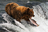 A brown bear (ursus arctos) with a scar on it's back is about to catch a salmon in it's mouth at the top of Brooks Falls, Alaska. The fish is only a few inches away from its gaping jaws. Shot with a Nikon D800 in July 2015; Alaska, United States of Americ