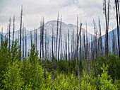 Leafless, dead trees stand out above the new growth forest on a mountainside; Edgewater, British Columbia, Canada