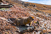An arctic ground squirrel (Spermophilus parryii) near the Savage Alpine Trail in Denali National Park; Alaska, United States of America