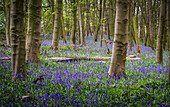 Bluebells (Hyacinthoides) growing on the ground of a forest; West Bretton, West Yorkshire, England