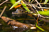 A wild American Alligator (Alligator mississippiensis) hatchling keeps a lookout in the Sebastian River; Alaska, United States of America
