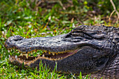 An American Alligator (Alligator mississippiensis) basks in the sun in Shark Valley, Everglades National Park; Florida, United States of America