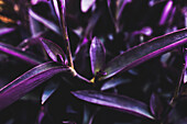 Vibrant purple foliage on a succulent plant in a garden in a tropical climate; Vancouver, British Columbia, Canada