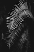 Black and white image of a fern leaf; Vancouver, British Columbia, Canada