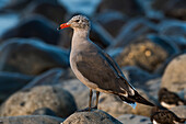 A Heermann's gull (Larus heermanni) rests on the shore of Seaside Cove; Seaside, Oregon, United States of America