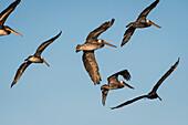 Brown Pelicans (Pelecanus occidentalis) fly across the blue sky; Ilwaco, Washington, United States of America