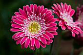 A bright pink Gerbera daisy (Asteraceae) produces showy blossoms; Astoria, Oregon, United States of America