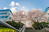 Spring blossom cherry trees in full bloom line this concrete set of steps and walkway at an office building complex with stairs leading up the path towards the sunlight through the trees; Vancouver, British Columbia, Canada