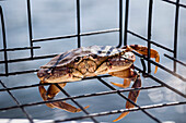 A live small Dungeness crab (Metacarcinus magister) caught in a crab trap on the west coast; Vancouver, British Columbia Canada