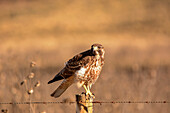 A hawk ( Accipitridae) is looking at the camera, ready to fly off from a fence post in warm sunlight; Potrerillos, Mendoza, Argentina
