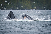 Whales breaching off the coast with a flock of seagulls flying around over the surface of the water. Whale watching tour with Prince Rupert Adventure tours; Prince Rupert, British Columbia, Canada