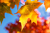 Close-up of golden leaves on a tree against a blue sky in autumn, White Mountains National Forest; New England, United States of America