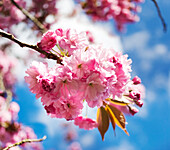 Cherry blossoms in bright pink blossoming on a tree with a blue sky; Surrey, British Columbia, Canada