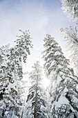 Low angle view of snow covered trees and sunlight glowing through them to a blue sky with cloud