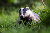 A Badger (Mustelidae) sitting in the grass; Dumfries and Galloway, Scotland