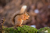 Red Squirrel (Sciurus vulgaris) eating from it's hand while standing on a moss covered rock; Dumfries and Galloway, Scotland