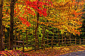 Trees in vibrant autumn coloured foliage and a rail fence lining a dirt road; Sutton, Quebec, Canada