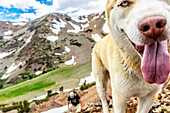 Close up of dog in alpine Sierra wilderness, Sierras, California, USA