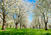 Idyllic scenery with blossoming cherry trees in the Eggenertal Valley in early spring. Schliengen, Baden-Wurttemberg, Germany