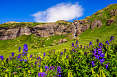 Purple wildflowers in mountains, Ice Lakes Trail, Colorado, USA