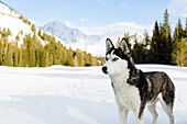 Ski touring dog posing in Sun Valley, Hailey, Idaho, USA