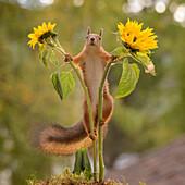 Red squirrel (Sciurus vulgaris) standing between two sunflowers, Bispgarden, Jamtland, Sweden