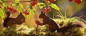 Red squirrels (Sciurus vulgaris) with mushroom and rowanberries on branch, Bispgarden, Jamtland, Sweden
