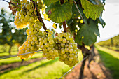 Coastally grown grapes for winemaking as part of a southern New England Vineyard