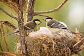 Two great tit (Parus major) birds in nest with eggs, Bispgarden, Jamtland, Sweden
