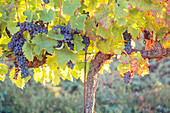Europe,Italy,Umbria,Perugia district,Montefalco, Grape vine in autumn