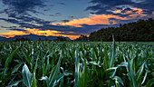 Sunset on cornfield, Como province, Lombardy, Italy, Europe